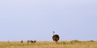 Female Ostrich and Chicks