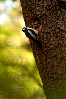 Great Spotted Woodpecker Feeding a Chick