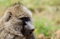 Olive Baboon Portrait