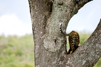 Leopard in a Tree 1