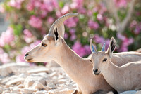 Mother and Fawn Nubian Ibex Portrait