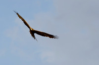Black Kite in Flight 2