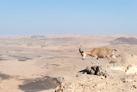 Female Nubian Ibex on the Cliff at Ramon Crater