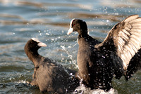 Eurasian Coot Territorial Fight