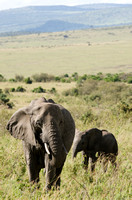 Mother and Calf Elephants