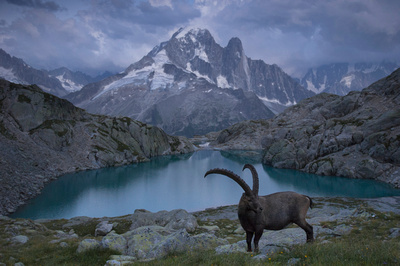 Male Alpine Ibex at Dusk